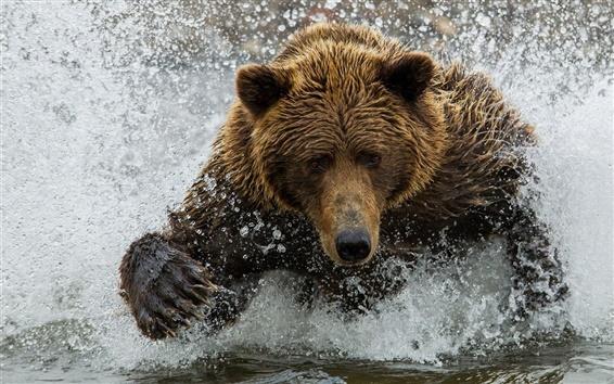 Papéis de Parede Urso de Brown, água, respingo