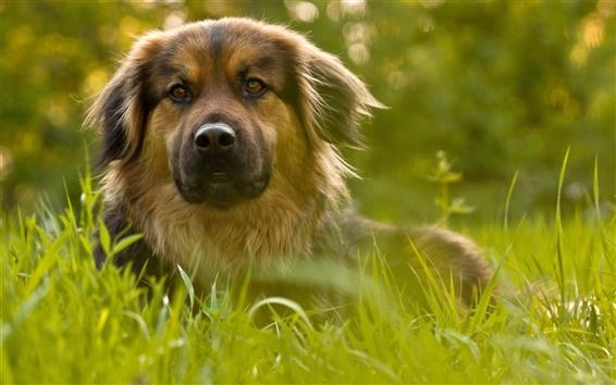 Wallpaper Dog, greens, grass, bokeh