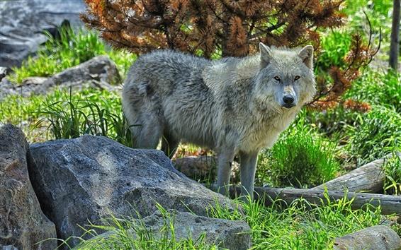 Wallpaper Forest, wolf, predator, stones