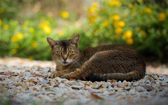 Wallpaper Gray-brown cat, rest, sight