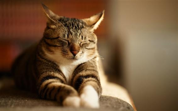 Wallpaper Gray striped cat sleep