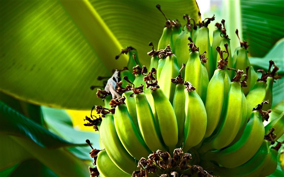Wallpaper Green bananas, plantains, leaves, tree