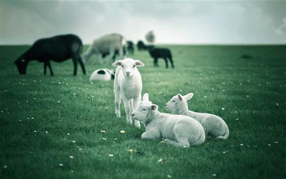 Обои Ягнята, белых овец, зеленые поля