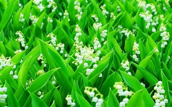 Fond d'écran Lily de la vallée, fleurs blanches, feuilles vertes