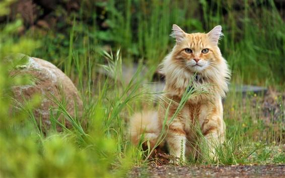 Wallpaper Orange cat sit in the grass