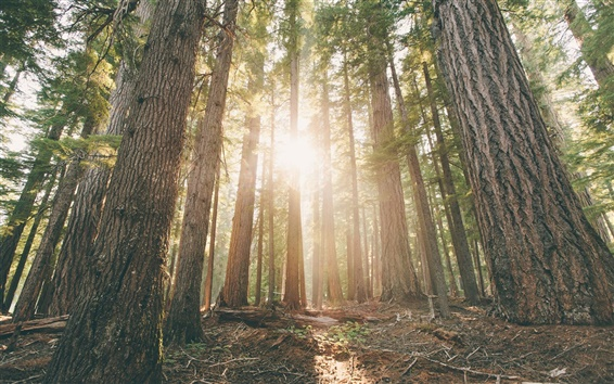 Wallpaper Oregon, forest, pine trees, dawn, sun rays