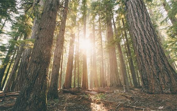 Fond d'écran Oregon, forêt, arbres de pin, l'aube, les rayons du soleil