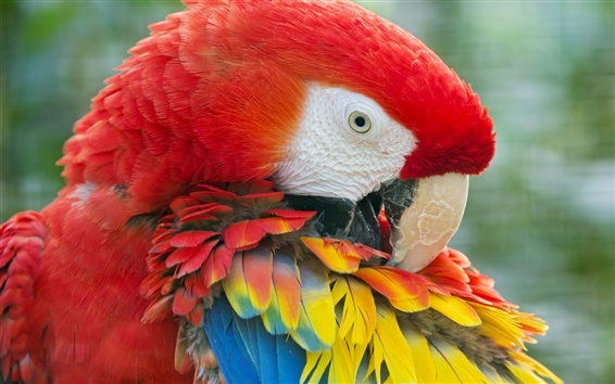 Wallpaper Parrot, Macaw, colorful feathers