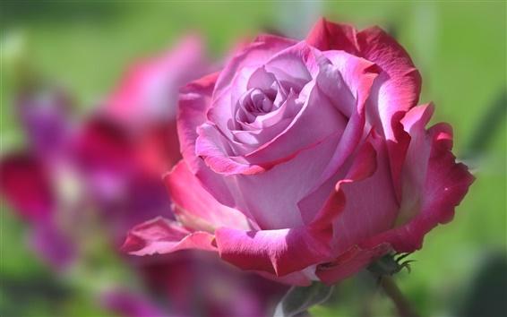 Wallpaper Pink flower, petals, rose