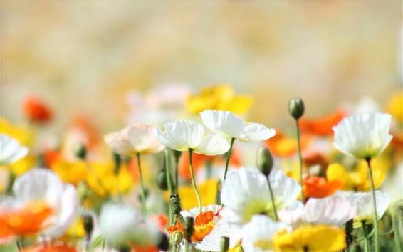 Fond d'écran Coquelicots, fleurs, jaune, blanc, orange, été
