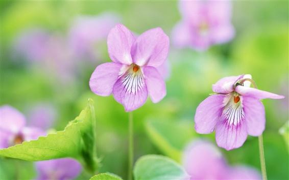 Обои Фиолетовые цветы, весна, зеленый боке