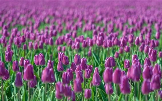 壁紙 ぼかしパープルチューリップ、花フィールド、