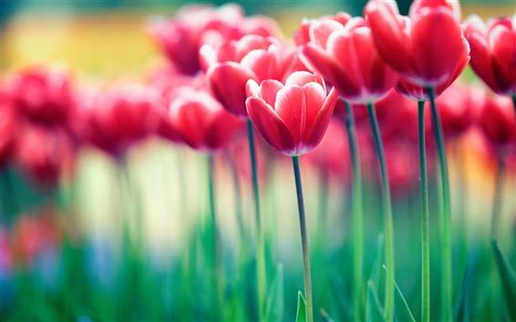 Wallpaper Red flowers, tulips, bokeh