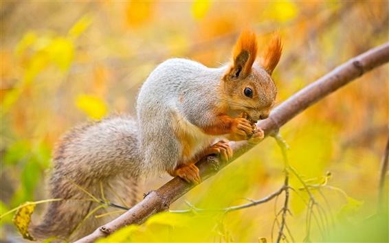 Wallpaper Squirrel, nut, tree, branches, autumn
