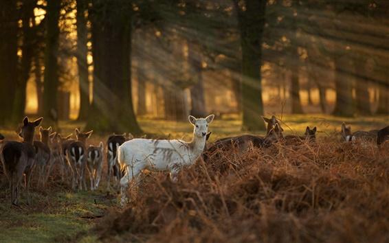 Papéis de Parede Sunlight, cervos, floresta