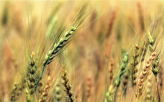 Fond d'écran Les champs de blé, vert, flou