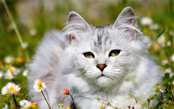 Wallpaper White cat in the grass, daisies flowers