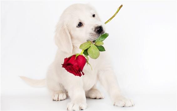 Wallpaper White dog, rose