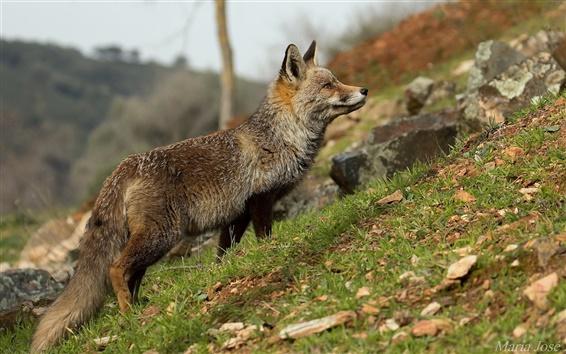 Wallpaper Animal close-up, fox, grass