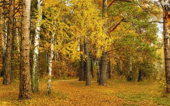 Обои Осень, березы, желтые листья, деревья, лес
