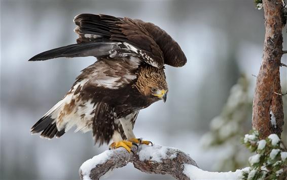 Fondos de pantalla Pájaro, águila, invierno, ramas