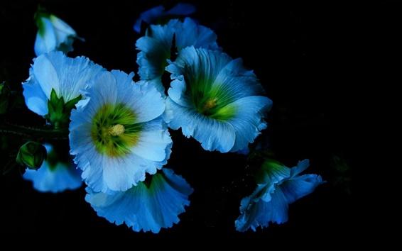 Wallpaper Blue flowers, petals, mallow, black background