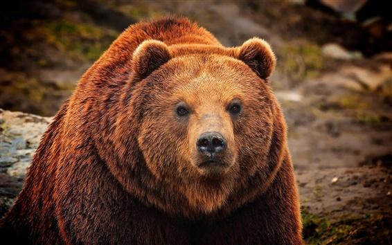 Wallpaper Brown bear, face close-up