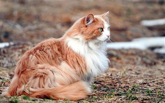 Papéis de Parede Gato branco marrom bonito, descanso
