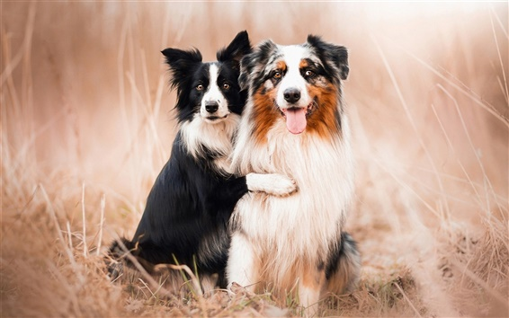 Wallpaper Dogs, Australian shepherds, friends