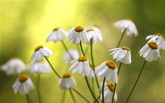 Wallpaper Flowers, white daisies, bokeh