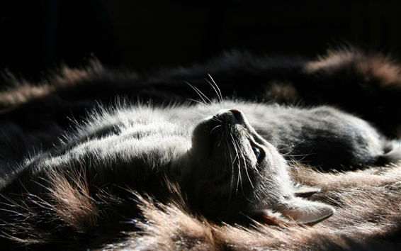 Обои Серый кот, сон, посмотрите