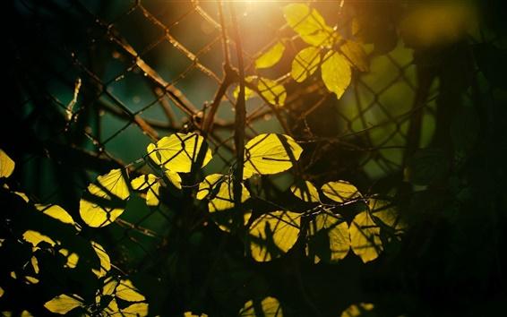 壁纸 叶子,太阳光线,网,篱笆