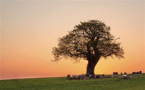 Fond d'écran Rose soir, coucher de soleil, les moutons, arbre, pâturages