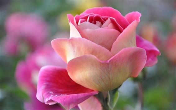 Wallpaper Pink rose close-up, flower, petals