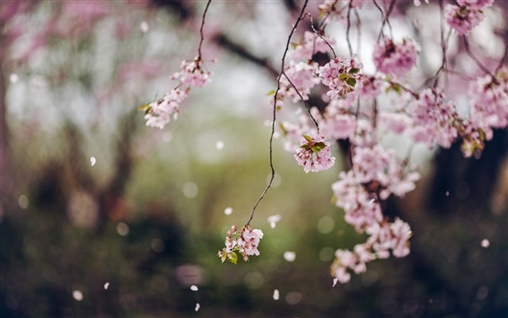 Wallpaper Trees, cherry flowers blossom, spring, petals
