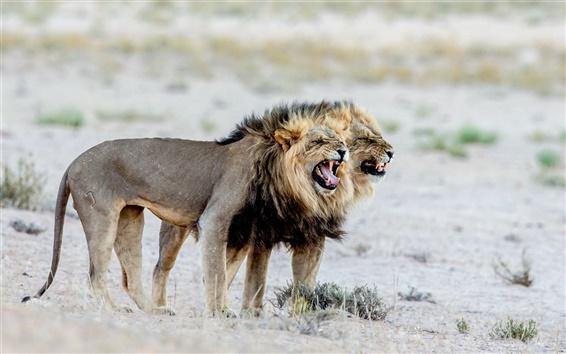Fond d'écran Plan rapproché d'animaux, lions, Afrique