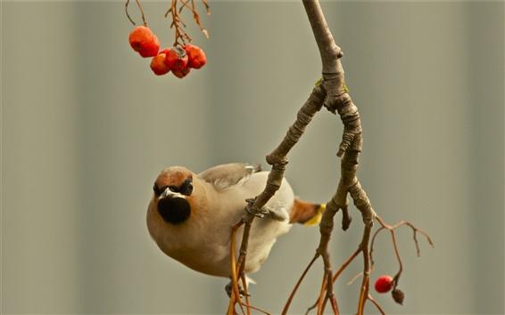 Wallpaper Birds, waxwing, twig, berries