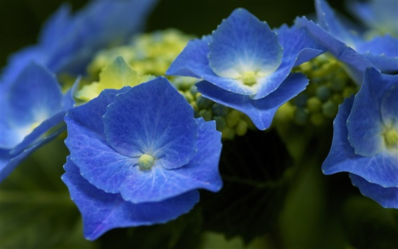 blaue hortensien bl tenbl tter hintergrundbilder hd bild. Black Bedroom Furniture Sets. Home Design Ideas