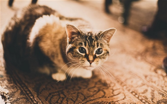 Обои Кот, глаза, дом