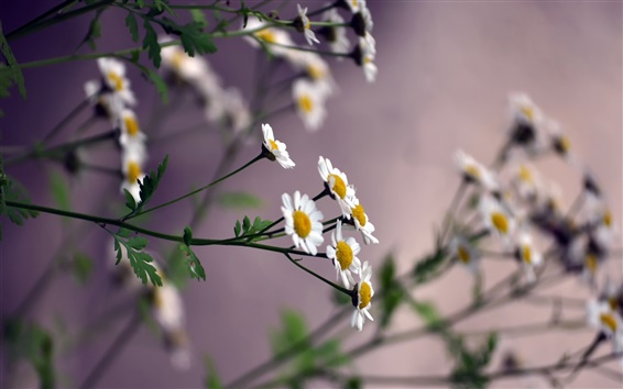 Wallpaper Daisies, small white flowers