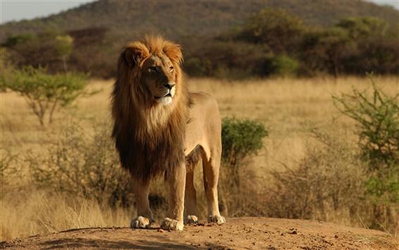 Papéis de Parede Gatos selvagens, animais, leão, África