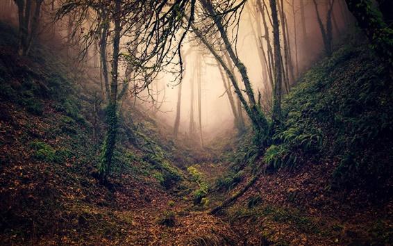 Papéis de Parede Floresta, árvores, ramos, ravina, nevoeiro