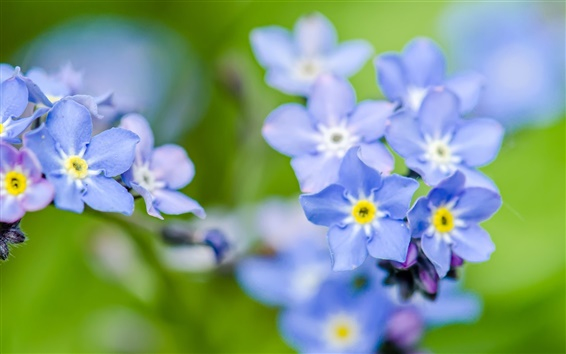 Wallpaper Forget-me flowers, blue