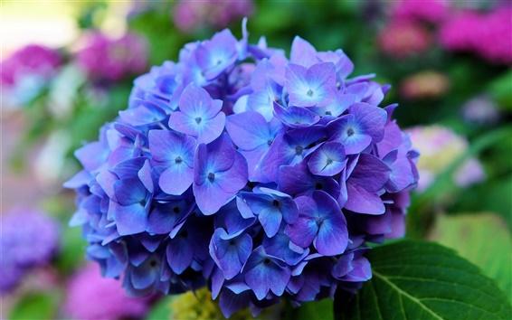 Fond d'écran Fleurs d'hortensia, bleu, macro