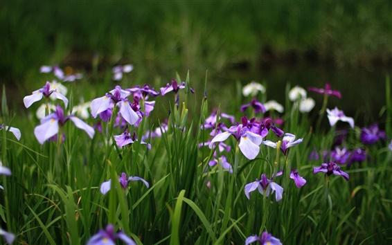 Обои Ирис, синие цветы, зеленая трава, лето