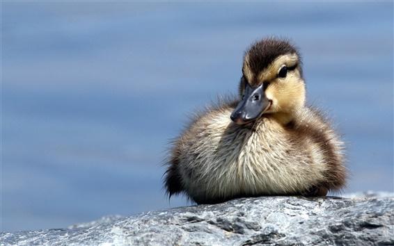 Wallpaper Little duck