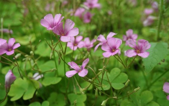 Papéis de Parede As flores pequenas, trifolium pratense