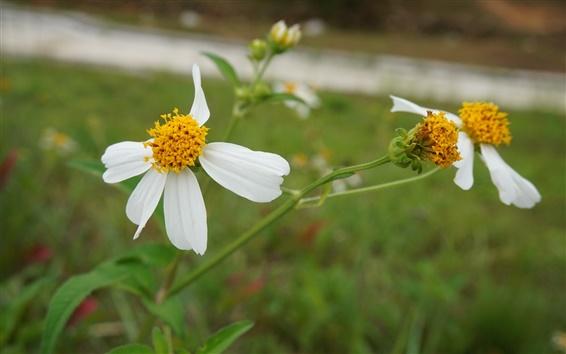 Обои Маленькая белая хризантема