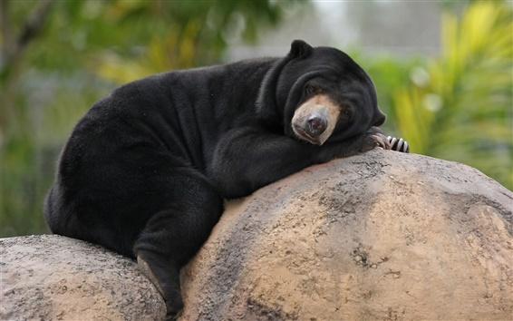 Fond d'écran Ours malais, noir, pierres, le sommeil