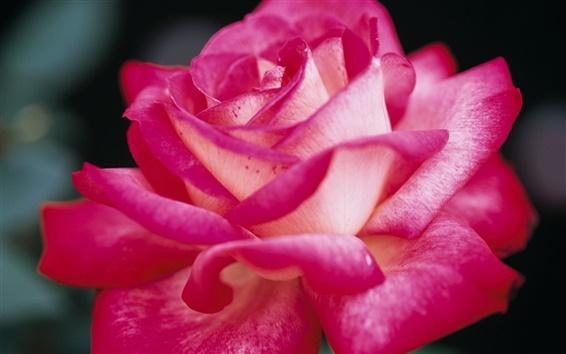 Wallpaper Pink rose petals, macro photography
